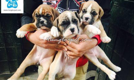 Tùng Lộc Pet – Chào bán đàn chó Bull tháng 01/2016