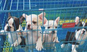 Tùng Lộc Pet – Cập nhật hình ảnh đàn chó French Bulldog tháng 2/2016