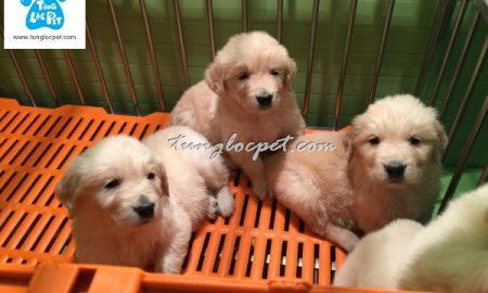 Tùng Lộc Pet – Hình ảnh hai đàn chó Golden Retriever đã bán đầu tháng 3/2016