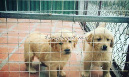 Tùng Lộc Pet – Xuất chuồng đàn chó Golden Retriever dịp rằm tháng Giêng 2016
