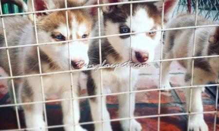 Tùng Lộc Pet – Chào bán đàn chó Siberian Husky tháng 03/2016