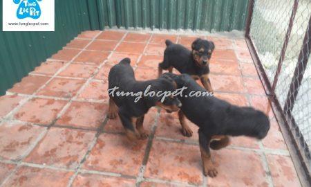 Tùng Lộc Pet – Chào bán đàn Rottweiler tháng 03/2016