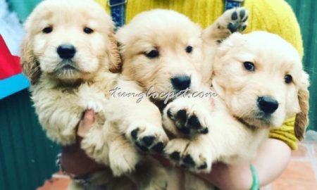 Tùng Lộc Pet – Chào bán đàn Golden Retriever xuất chuồng cuối tháng 3/2016