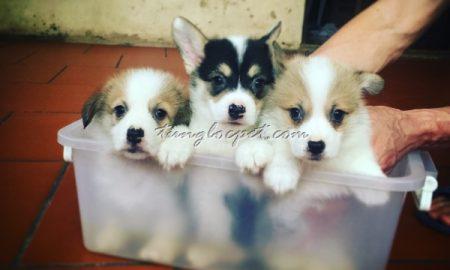 Tùng Lộc Pet – Chào bán đàn chó Pembroke Welsh Corgi đẻ tại Hà Nội tháng 04/2016