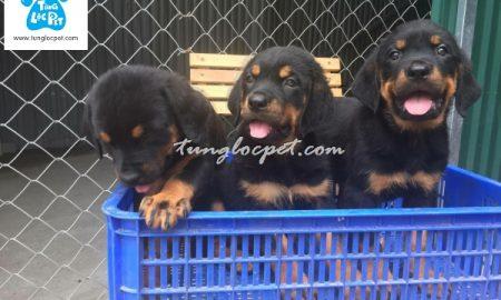 Tùng Lộc Pet – Chào bán đàn Rottweiler dòng đại tháng 05/2016