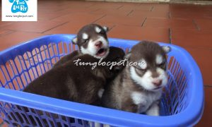 Tùng Lộc Pet – Chào bán đàn chó Alaskan nâu đỏ tháng 05/2016