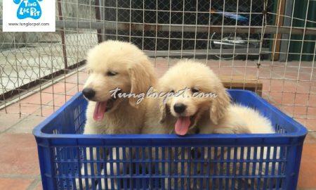 Tùng Lộc Pet – Xuất chuồng đàn chó Golden Retriever tháng 5/2016