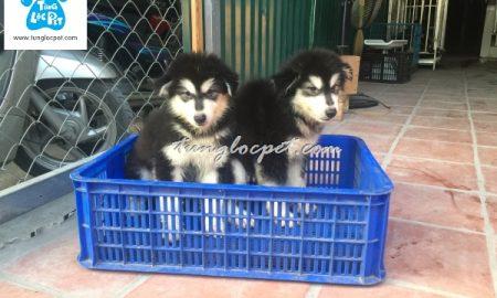 Tùng Lộc Pet – Cập nhật hình ảnh đàn chó Alaskan Malamute đen trắng tháng 5/2016