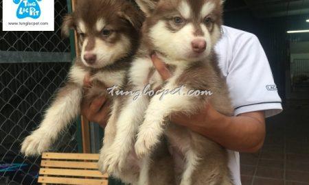 Tùng Lộc Pet – Cập nhật đàn chó Alaskan nâu đỏ tháng 5/2016