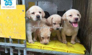 Tùng Lộc Pet – Nhận đặt và bán đàn chó Labrador Retriever tháng 06/2016
