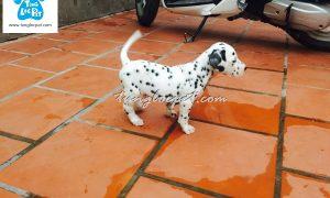 Tùng Lộc Pet – Nhận đặt đàn chó Đốm xuất chuồng cuối tháng 06/2016