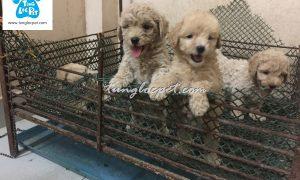Tùng Lộc Pet – Chào bán đàn chó Toy Poodle tháng 06/2016