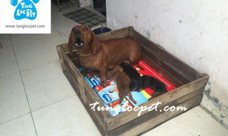 Tùng Lộc Pet – Chào bán đàn chó Dachshund tháng 8/2016