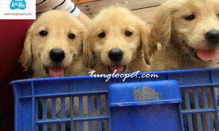 Chào bán đàn chó Golden Retriver tháng 8/2016