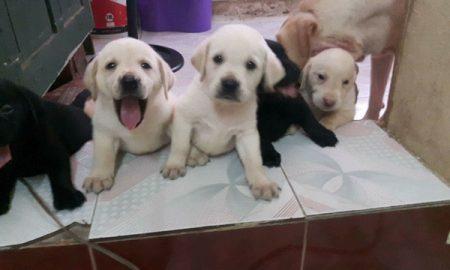 Tùng Lộc Pet – Chào bán đàn chó Labrador Retriever tháng 08/2016