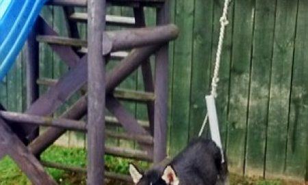 Tùng Lộc Pet – Chú huskey tinh nghịch bị mắc kẹt