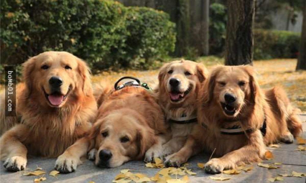 Tùng Lộc Pet -Hình ảnh đáng yêu của 4 anh em nhà Golden khi gặp bé mèo.
