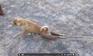 Tùng Lộc Pet – Chú chó giả què xin ăn