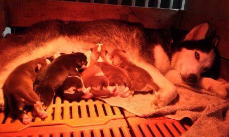 Tùng Lộc Pet – Chào bán đàn Husky tháng 5/2015