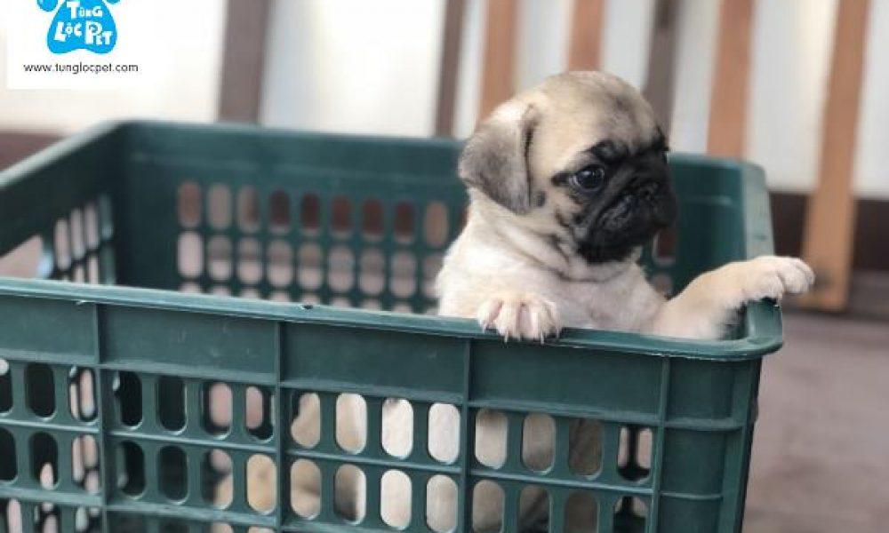Tùng Lộc Pet – Nhận đặt và bán đàn chó Pug mini đầu tháng 6/2018