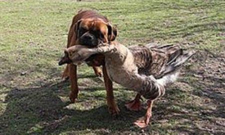 Tùng Lộc Pet – Tình bạn giữa chú chó mù và ngỗng