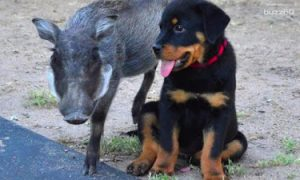 Tùng Lộc Pet – Tình bạn giữa chú Rottweiler và Warthog mồ côi