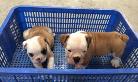 Tùng Lộc Pet – Xuất chuồng 2 bé bulldog tháng 5/2015