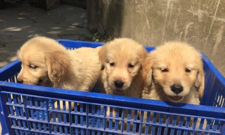 Tùng Lộc Pet – Chào bán đàn Golden Retriever xuất chuồng đầu tháng 5/2015