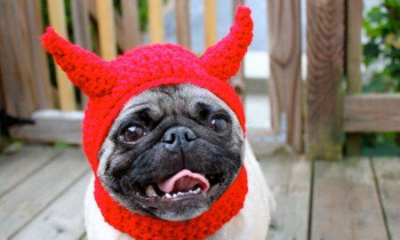 Tùng Lộc Pet – 11 điều về giống chó Pug mà nhiều người không biết( phần 2)
