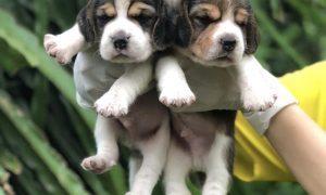 Tùng Lộc Pet – Chào bán đàn chó săn thỏ Beagle cực đẹp tháng 07/2018