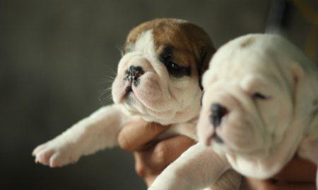 Tùng Lộc Pet – Báo giá bán chó Alaskan, Rottweiler, Bulldog tháng 3/2014