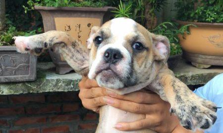 Tùng Lộc Pet – Nhận đặt và bán 2 cún Bulldog T9/2015