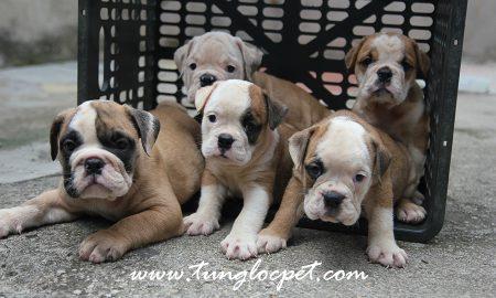 Tùng Lộc Pet – Chào bán đàn Bulldog 6 bé xuất chuồng tháng 9/2015
