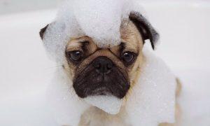 Tùng Lộc Pet – Những điều cần biết khi nuôi Pug.