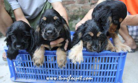 Tùng Lộc Pet – Nhận đặt và bán đàn chó Tây Ban Nha (Cocker spaniel) cuối t7/2015