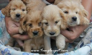 Tùng Lộc Pet – Nhận đặt và bán đàn chó Tây Ban Nha (Cocker spaniel) t8/2015
