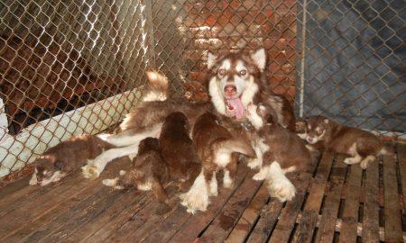 Tùng Lộc Pet – Chào bán đàn chó Alaskan Malamute màu nâu đỏ