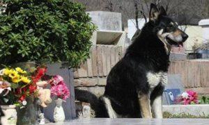"""Cư dân mạng """"phát sốt"""" vì chú chó 6 năm liền không rời mộ chủ"""