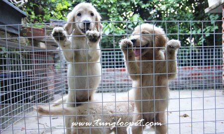 Tùng Lộc Pet – Nhận đặt và bán đàn chó Golden Retriever T8/2015