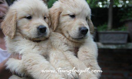 Tùng Lộc Pet – Đàn Golden Retriever đầu tháng 9/2015