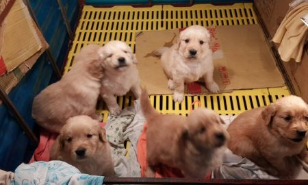 Nhận đặt đàn và bán đàn chó Golden Retriever xuất chuồng tháng 01/2014