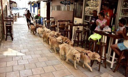Tùng Lộc Pet – Gặp gỡ người hùng của bầy Golden tại Thổ Nhĩ Kỳ