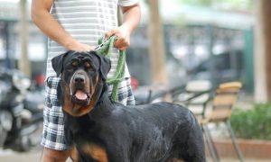 Dịch vụ phối giống chó Rottweiler dòng đại