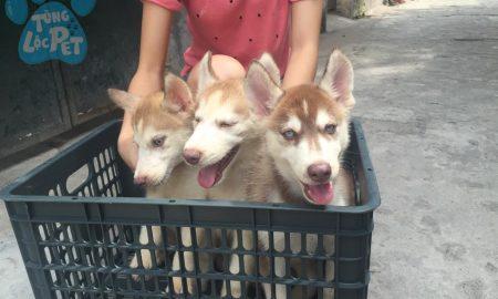 Tùng Lộc Pet – Bán 3 bé chó Husky hơn 2 tháng Tháng 6/2015
