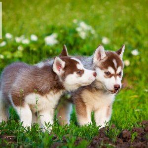 Siberian Husky – Nâu đỏ