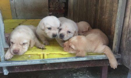 Tùng Lộc Pet – Nhận đặt đàn chó Labrador màu vàng xuất chuồng tháng 08/2016