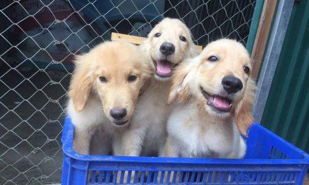 Tùng Lộc Pet – Chào bán đàn chó Golden 3 tháng tuổi