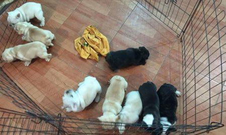 Tùng Lộc Pet – Chào bán đàn chó French Bulldog có giấy VKA tháng 8/2016