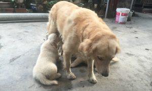 Tùng Lộc Pet – Xuất chuồng hai đàn Golden Retriever tháng 9/2016
