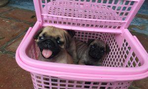 Tùng Lộc Pet – Chào bán đàn chó Pug mini tháng 09/2016